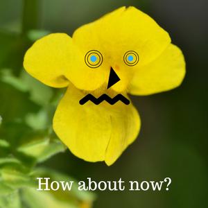 The yellow monkey flower alpine paradise see ya in the hills mightylinksfo