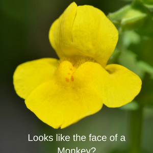 The yellow monkey flower alpine paradise and it looks like the face of a monkey dont you think mightylinksfo