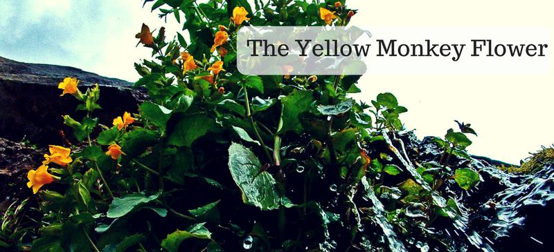 The yellow monkey flower alpine paradise often called a seep monkeyflower mightylinksfo